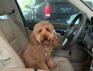 Teddy golden doodle puppy