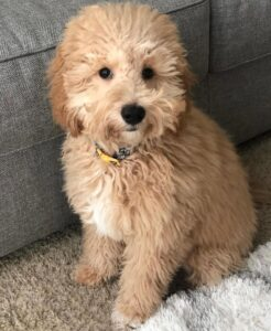 Linda golden doodle puppy