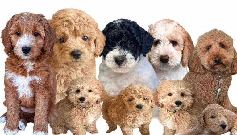 puppies golden doodle